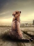 Wildlife African Cheetah