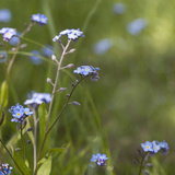 Forget Me Not - Square 3