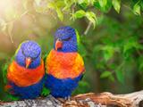 Lory Birds