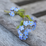 Forget Me Not - Square 2