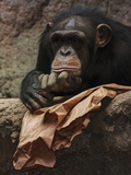 Thoughtful Chimpanzee
