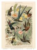 Exotic Humming Birds (Kolibris) - Bookplate from Brockhaus' Konversations-Lexikon Vol 2