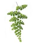 Green Maidenhair