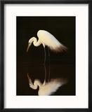 Great Egret in Lagoon  Pantanal  Brazil