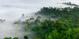 Mist and Low Cloud Hanging over Lowland Dipterocarp Rainforest with Emergent Menggaris Tree Visible
