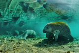Manatees (Trichechus Sp)  Three Sisters Springs  Crystal River  Florida  USA