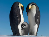 Emperor Penguin Couple with Chick  October  Snow Hill Island  Weddell Sea  Antarctica