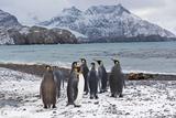 King Penguins Aptenodytes Patagonicus Holmestrand South Georgia