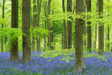 Bluebells and Beech Trees in West Woods  Wiltshire  England Spring (May) 2013