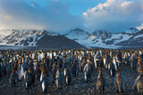 Dawn at King Penguin (Aptenodytes Patagonicus) Rookery at St Andrews Bay South Georgia