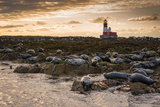 Grey Seals on Rocks with Longstone Lighthouse in