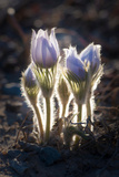 Flower  Crocus  Macro  Purple  Fuzzy  Group  Together  Backlit  Setting Sun