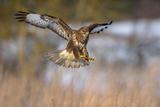 Common Buzzard (Buteo Buteo) Landing  Biosphere Area  Swabian Jura  Baden-Württemberg  Germany
