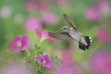 Ruby-Throated Hummingbird (Archilochus Colubris)  Female in Flight Feeding