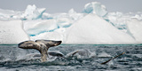 Pod of Narwhal  Monodon Monoceros  Surfacing and Tail Slapping Along Floe-Edge Nunavut  Canada