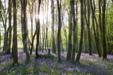 Sunlight Shining Between the Trees and Lighting Up the Bluebells on the Woodland Floor