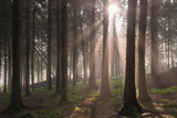 Sun Shining Through Misty Pine Woodland  Morchard Bishop  Devon  England September (Autumn) 2014