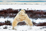 Two Male Polar Bears  Ursus Maritimus  Sparring  Churchill  Manitoba  Canada