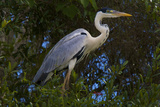 A Cocoi Heron  Ardea Cocoi  Perched in a Tree