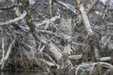 A Bobcat Has Perfect Camouflage as it Sits in a Fallen Tree