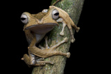 A Borneo Eared Frog  Polypedates Otilophus  Rests on a Tree Branch