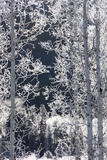 Snow Crystals Coat Twigs and Branches of Birch Trees