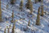 The Nenana River Wolf Pack Spends Time in Denali National Park and Just East of the Park