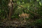A Jaguar on the Hunt Trips a Camera Trap