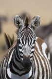 A Grant's Zebra with a Snare on its Neck  Masai Mara National Reserve  Kenya