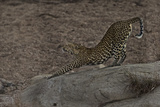 A Female Leopard Stretches in South Africa's Timbavati Game Reserve