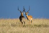 Two Male Impalas Ready to Fight for Dominance  Masai Mara National Reserve  Kenya