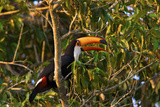 A Toco Toucan  Ramphastos Toco  Perched in a Tree