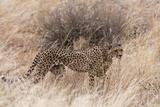 A Cheetah  Acinonyx Jubatus  Walking in the Tall Grass  Samburu National Reserve  Kenya