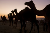 Silhouetted Dromedary Camels at Sunset at the Pushkar Camel Fair
