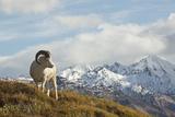 A Dall's Sheep in Denali National Park