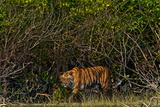 A Tiger Walks Among the Mangroves in India's Sundarbans Region