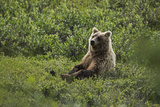 A Grizzly Bear Sitting in Denali National Park and Preserve