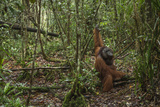 A Male Bornean Orangutan Moves Along the Floor of the Tuanan Swamp in Central Kalimantan