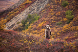 A Grizzly Bear Among Multicolor Plants in Denali's Polychrome Pass