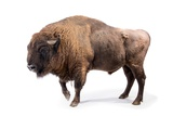 A Male European Bison  Bison Bonasus  at Parco Natura Viva