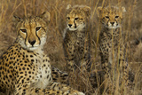 A Mother Cheetah Sits with Her Two Cubs in Tall Grass