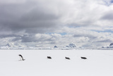 Gentoo Penguins Walk across Sea Ice