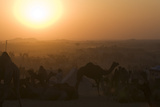 A Setting Sun and Silhouetted Camels at the Pushkar Camel Fair