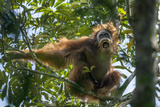 A Male Sumatran Orangutan Uses a Leafy Branch as a Makeshift Umbrella