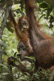 A Female Bornean Orangutan Teaches Her Offspring How to Find Ripe Fruit
