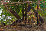 A Wild Jaguar Resting on a Bank of the Cuiaba River