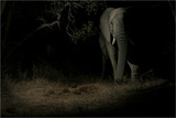 A Remote Camera Captures an African Elephant in Sabi Sand Game Reserve