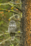 A Great Grey Owl Rests During the Day on a Large Tree