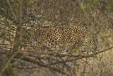A Leopard Walking in Yala National Park