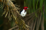 A Red Capped Cardinal in Yasuni National Park